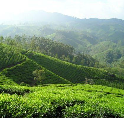 Culture du thé en Inde